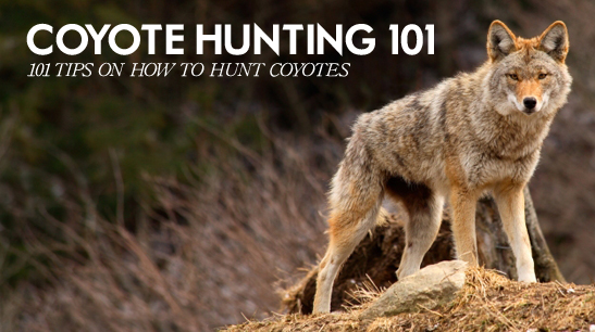 Coyote Hunting How To Hunt Coyotes Everything You Need Know