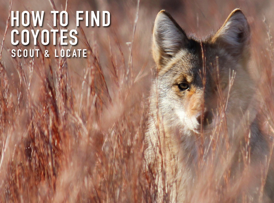 How to Find Coyotes