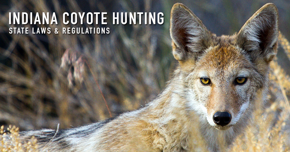 Coyote Hunting Indiana Laws Regulations Season